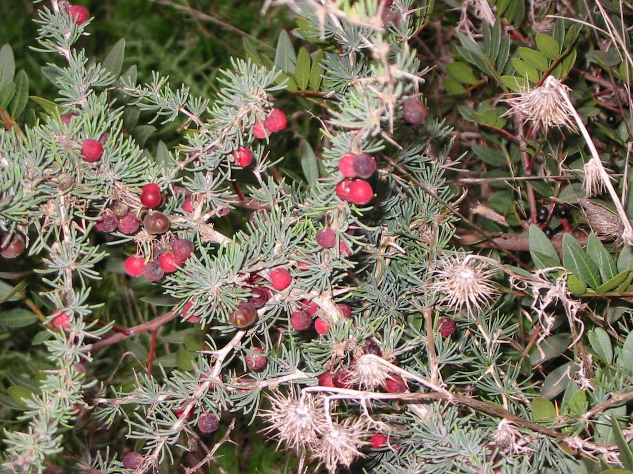 Macchia mediterranea for Pianta ornamentale con bacche rosse